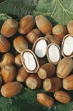 Плоды лещины сорт Косфорд
