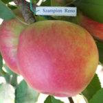 чемпион рено 2 150x150 - Сорт яблони Чемпион Рено