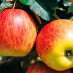 DelbardEstivale 150x150 - Сорт яблони Дельбарестивале (Делькорф)