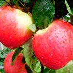 EarlyGeneva 150x150 - Сорт яблони Эрли Женева