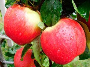 EarlyGeneva 300x225 - Сорт яблони Эрли Женева