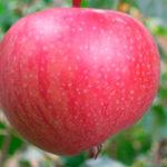 Pink Ledi 150x150 - Сорт яблони Пинк Леди