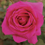 Rose_lolita_lemp