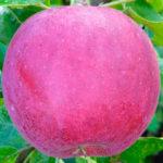 WilliamsPride 150x150 - Сорт яблони Вильямс Прайд