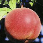 allstar2 1 150x150 - Сорт персика Аллстар (Эльстар)
