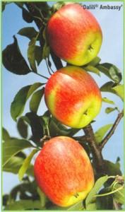 Сорт яблони Амбасси