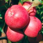 benishogunn 150x150 - Сорт яблони Бени Шогун