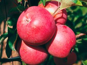 benishogunn 300x225 - Сорт яблони Бени Шогун