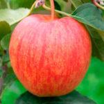 celeste 1 150x150 - Сорт яблони Целесте