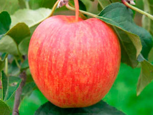 celeste 1 300x225 - Сорт яблони Целесте