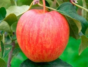 celeste 1 - Сорт яблони Целесте