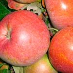 fudzhi nagafu 1 150x150 - Сорт яблони Фуджи Нагафу