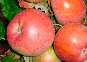 fudzhi nagafu 1 - Сорт яблони Фуджи Нагафу