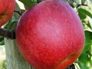 fuji kiku 300x225 - Сорт яблони Фуджи Кику 8
