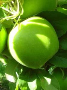Яблоня сорт Гранни Смит
