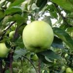 greenstar2 150x150 - Сорт яблони Грин Стар