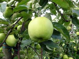 greenstar2 - Сорт яблони Грин Стар