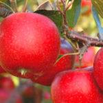 hilvel breburn 1 150x150 - Сорт яблони Хилвел Бребурн