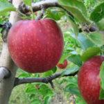 jonagoredd 150x150 - Сорт яблони Джонатан