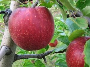 jonagoredd 300x225 - Сорт яблони Джонатан