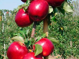 modi 1 300x225 - Сорт яблони Моди