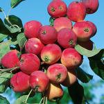 rayka 150x150 - Сорт яблони Райка