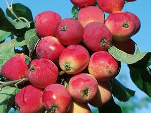 rayka 300x225 - Сорт яблони Райка