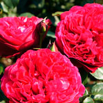 rosa_alan_sushon