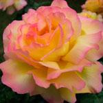 rosa_gloria_day