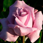 rosa_indigoletta