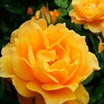 rosa_klementina