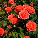 rosa_sprei_oranj