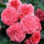 rose-quatre-saisons