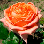 rose_Eldorado