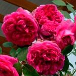 rose_L.D