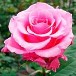 rose_balet