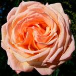 rose_barok