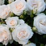 rose_belaja