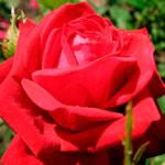 rose_kardinal