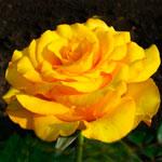 rose_kerio
