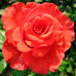 rose_korvet