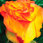 rose_oranzh_dzhus