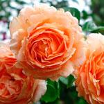 rose_polka