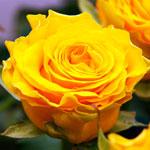 rose_sfinks