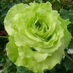 rose_super_green