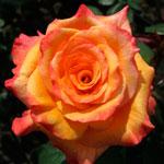 roza-kongo