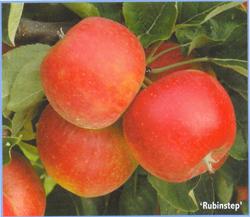 Сорт яблони Рубин Степ