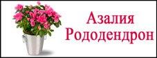 Саженцы рододендрона и азалии