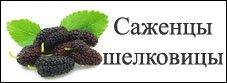 Саженцы шелковицы