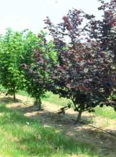 фото дерево фундук